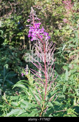 Rosebay Willow herb, north east England, UK - Stock Photo
