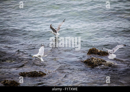 Seagulls flying over the ocean. - Stock Photo