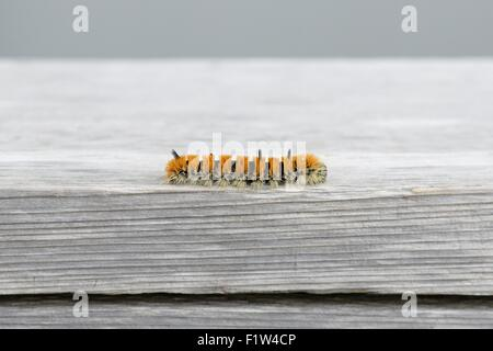 Orange and black caterpillar - Acronicta dactylina - Stock Photo