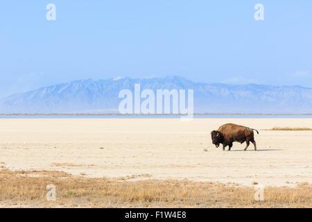 Buffalo roams the salt pan at the Great Salt Lake - Stock Photo