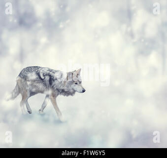 Wolf Walking on The Snow - Stock Photo
