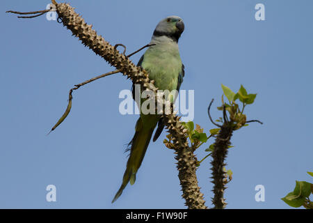 The blue-winged parakeet, also known as the Malabar parakeet is a species of parakeet endemic to the Western Ghats - Stock Photo