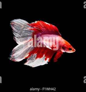 Red and white siamese fighting fish, betta fish, two tail profile, on black background - Stock Photo