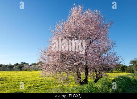 almond tree in flower near Tavira, Algarve - Stock Photo