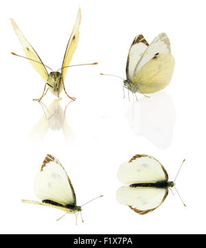 Set of cabbage butterfly isolated on the white background. - Stock Photo