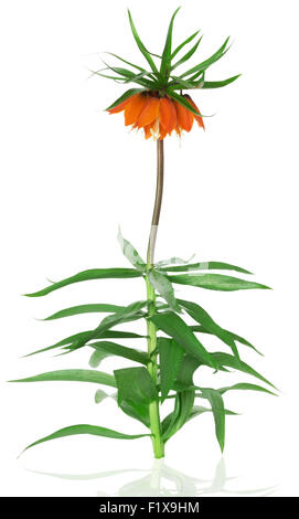 flower Imperial Fritillaria on the white background. - Stock Photo