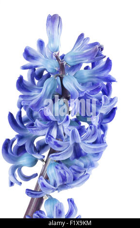 blue hyacinth on the white background. - Stock Photo