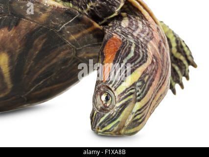 turtle isolated on the white background. - Stock Photo