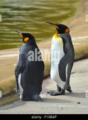 Kind Penguins stand together at Edinburgh zoo - Stock Photo