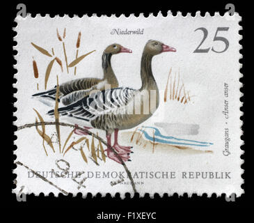Stamp printed in GDR shows image of a Graylag Geese, series, circa 1968 - Stock Photo