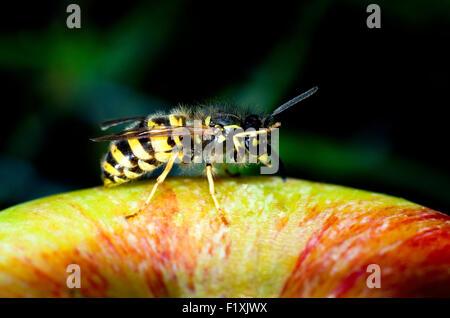 Common wasp (Vespula vulgaris) on an apple (malus domestica). - Stock Photo