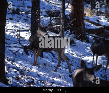 Deer Mules Winter - Stock Photo