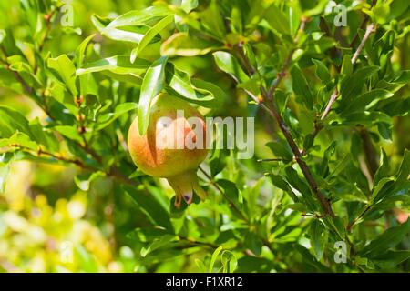 Pomegranate fruit on tree (Punica granatum) - Stock Photo