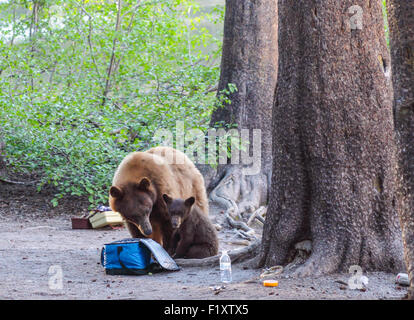 Black bear and cub by picnic goodies and fishing supplies near Lake Mamie in the Mammoth Lakes Basin in Northern - Stock Photo