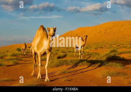 Oman, Sharquiyah Sands the Eastern Sands, Bidiyah, sunset in the dunes - Stock Photo