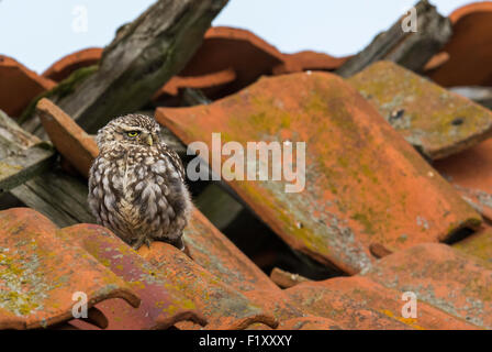 Little Owl (Athene noctua) perched on an old barn roof in a Norfolk farmyard, uk - Stock Photo