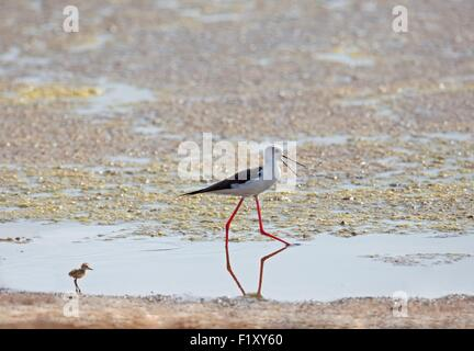 Morocco, Nador Lagoon, Black-winged Stilt (Himantopus himantopus), with her young - Stock Photo