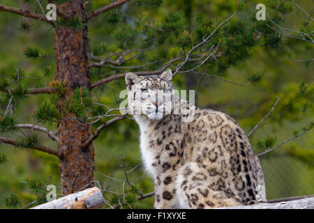 A snow leopard in a Swedish zoo - Stock Photo