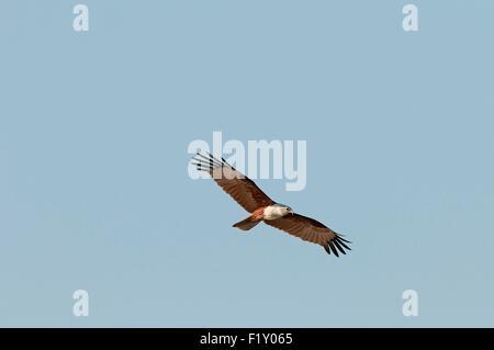 Thailand, Brahminy Kite (undue Haliastur) in flight - Stock Photo