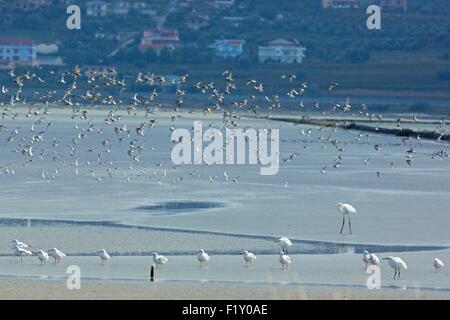 Albania, Nartes Lagoon, Great Egret, Slender-billed Gull (Chroicocephalus genei) - Stock Photo