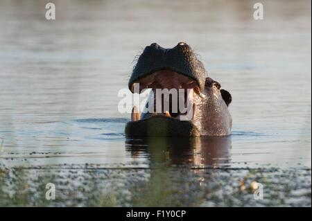 Botswana, Okavango Delta, listed as World Heritage by UNESCO, Khwai Concession, Hippopotamus (Hippopotamus amphibius) - Stock Photo