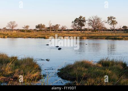 Botswana, Okavango Delta, listed as World Heritage by UNESCO, Khwai Concession, Hippopotamus (Hippopotamus amphibius) - Stock Photo
