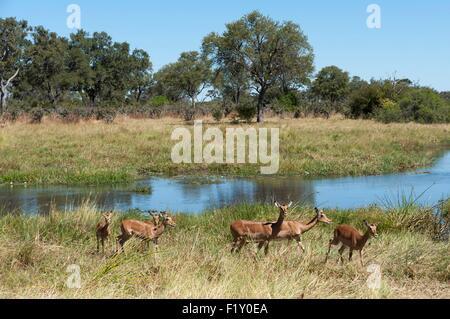 Botswana, Okavango Delta, listed as World Heritage by UNESCO, Khwai Concession, Impala (Aepyceros melampus) - Stock Photo