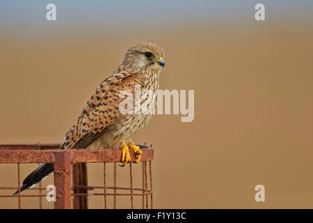 India, Gujarat state, Blackbuck national park, Common kestrel (Falco tinnunculus), also known as the European kestrel, - Stock Photo