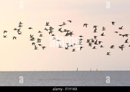 France, Vendee, Black-tailed Godwits (Limosa limosa) - Stock Photo