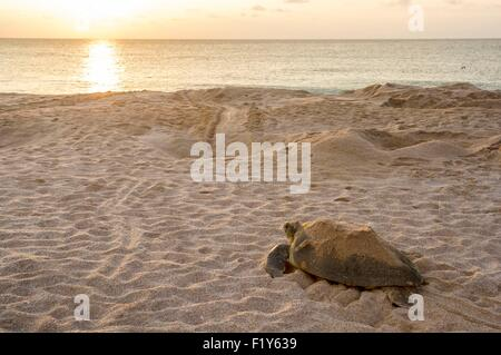 Oman, Ras-al Jinz, National Reserve and scientific center of marine turtles observation, egg nesting - Stock Photo