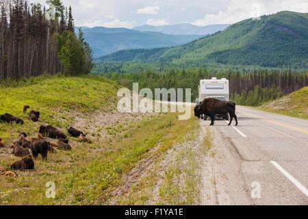 Canada,Crossing,American Buffalo,Alaska Highway - Stock Photo