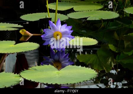Violet and yellow water lily flower in water with floating leaves - Stock Photo