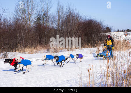 Adult male musher leads a team of husky dogs on the annual  Wolf Track Classic sled dog race competition, Ely, MN, - Stock Photo
