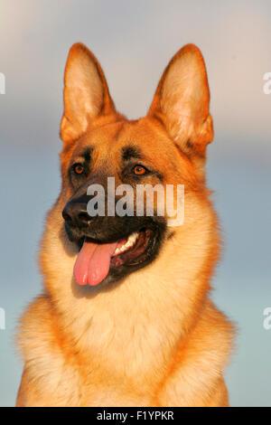 German Shepherd Alsatian Portrait of adult Germany - Stock Photo