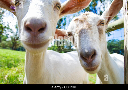 Curious goats on the Hawaii Island Goat Dairy cheese farm in Hawaii - Stock Photo