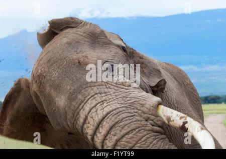 African Elephant (Loxodonta africana) Herd at Amboseli National Park Kenya Loxodonta africana Amboseli NP Kenya - Stock Photo
