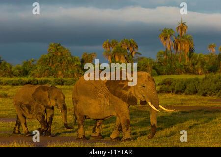 African Elephant (Loxodonta africana) Cow calf foraging at Amboseli National Park Kenya - Stock Photo