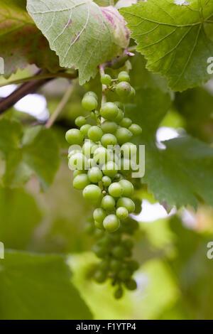 Vitis vinifera. Developing fruit of black Grape 'Brandt' in summer. - Stock Photo