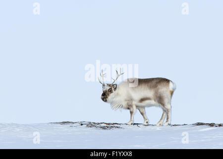 Svalbard Reindeer (Rangifer tarandus platyrhynchus) Adult standing tundra Svalbard - Stock Photo