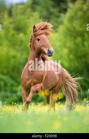 Icelandic Horse Chestnut stallion trotting pasture Austria - Stock Photo