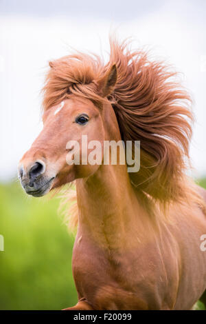 Icelandic Horse Portrait of chestnut stallion mane flowing Austria - Stock Photo
