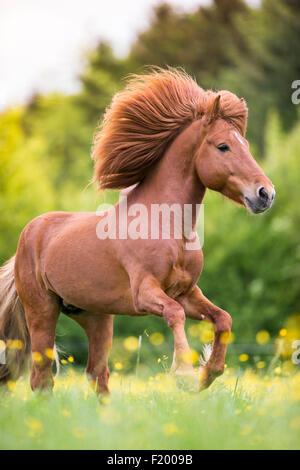 Icelandic Horse Chestnut stallion galloping pasture Austria - Stock Photo