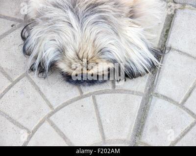 Pekinese dog. - Stock Photo