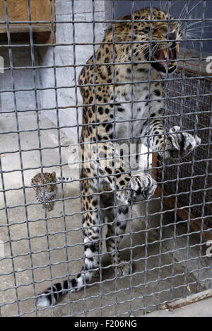Rostov On Don, Russia. 9th Sep, 2015. A female Amur leopard with a cub in their enclosure at the Rostov-on-Don Zoo. Credit:  Valery Matytsin/TASS/Alamy Live News