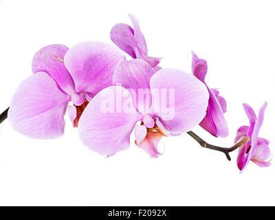 Orchidee - Stock Photo