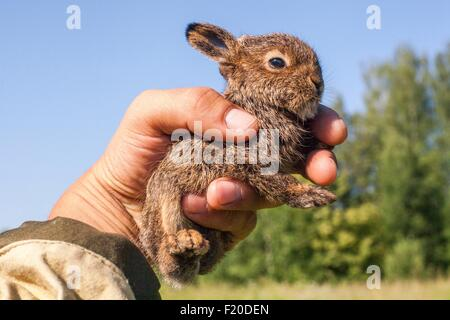 Close up of male hand holding up tiny juvenile rabbit - Stock Photo