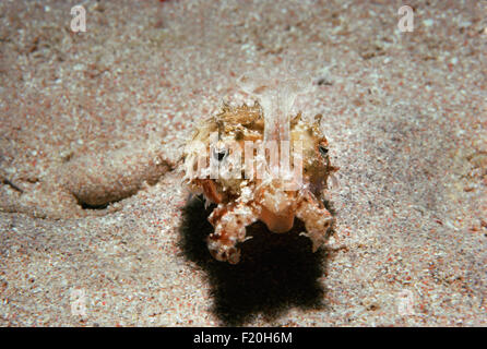 Close up of Cuttlefish (Sepia officinalis) on sandy ocean floor. Red Sea - Stock Photo
