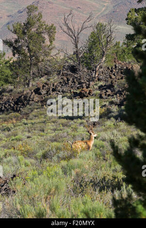 Arco, Idaho - Mule deer in Craters of the Moon National Monument. - Stock Photo