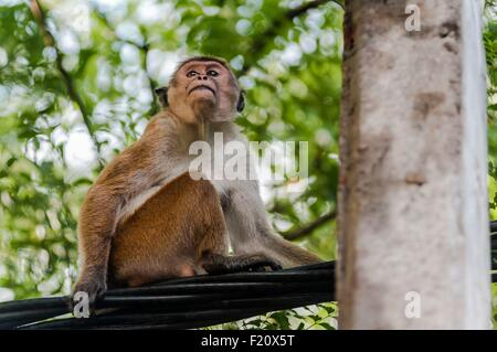 Sri Lanka, Northern Central Province, Polonnaruwa site, macaca sinica monkey - Stock Photo