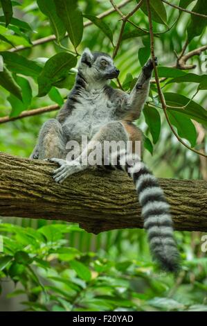 Singapore, Singapore Zoological Gardens, Mandai Zoo, Ring tailed lemur (Lemur catta) - Stock Photo